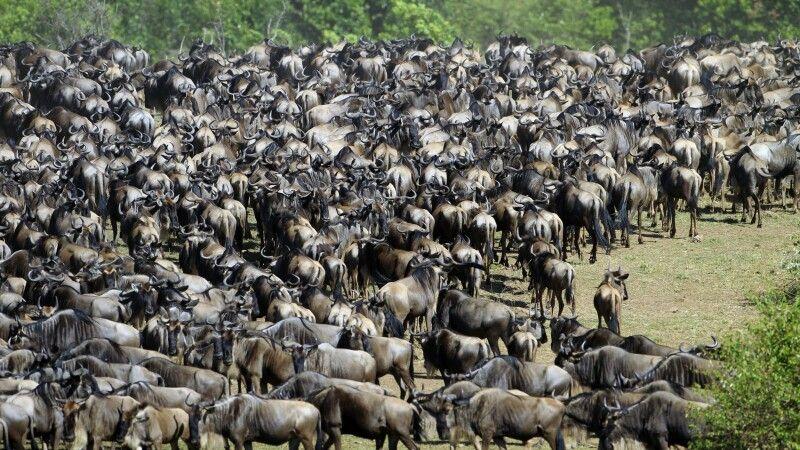 Die große Gnuwanderung zwischen Serengeti und Masai Mara © Diamir
