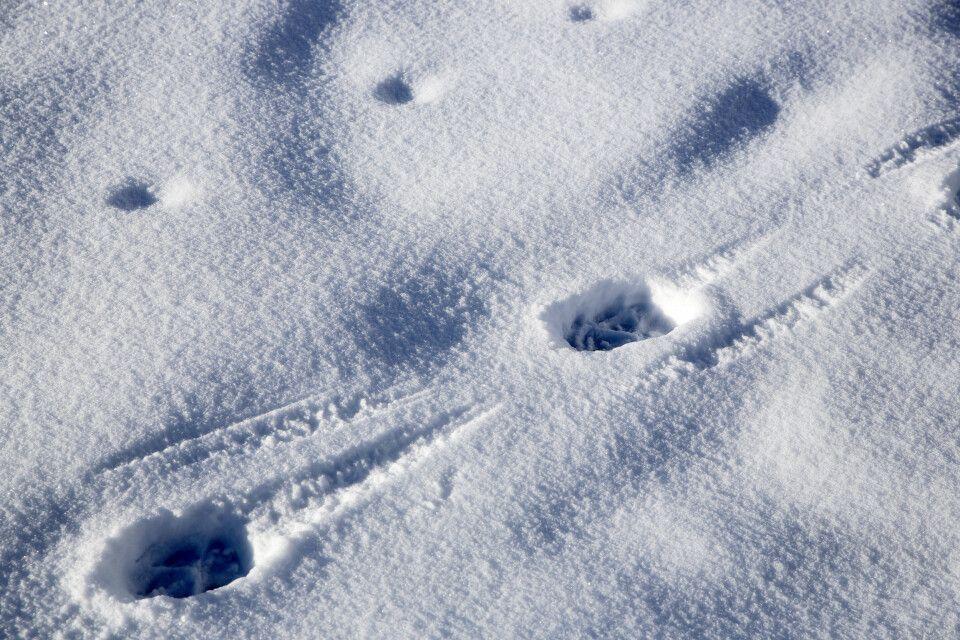 Dem Schneeloparden auf der Spur