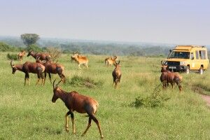 auf Safari: Topi kreuzen den Weg