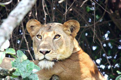 Löwin im Baum