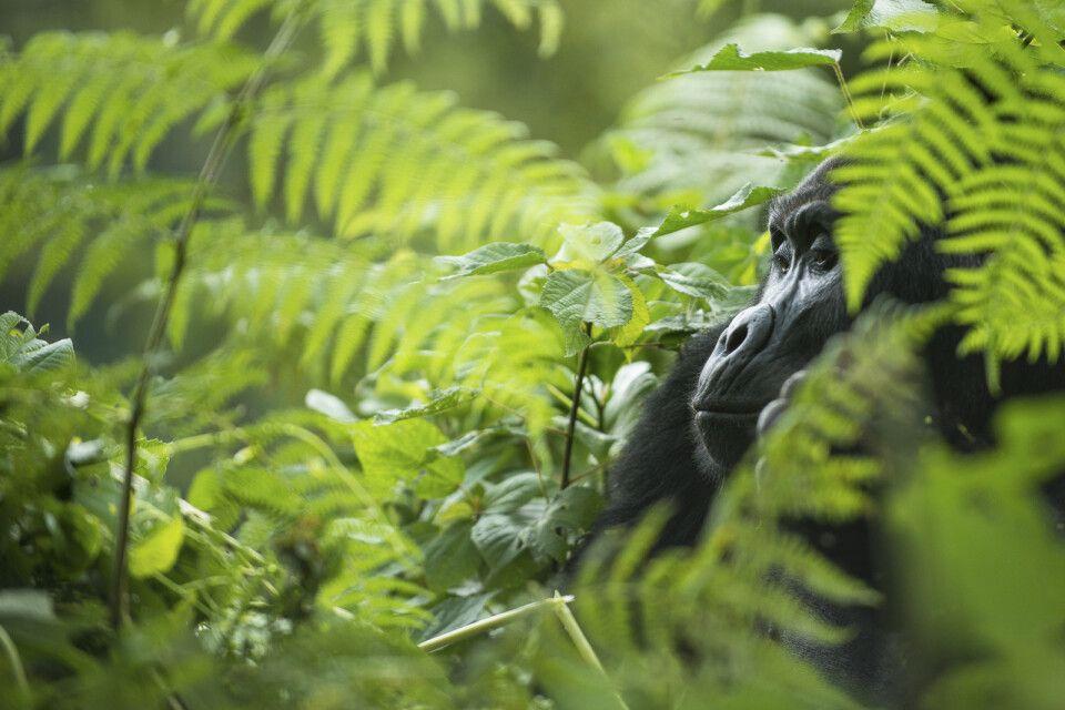 Gorilla zwischen Farnen