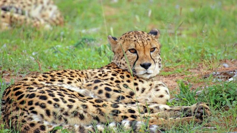 Gepard Okonjima Reservat © Diamir