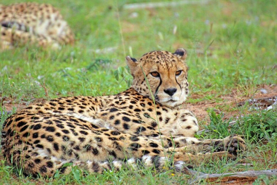 Gepard Okonjima Reservat