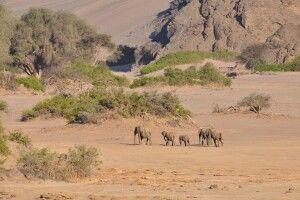 Die seltenen Wüstenelefanten