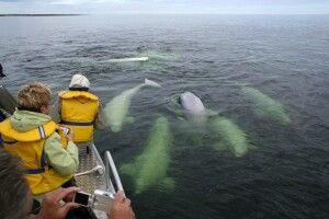 Beluga-Beobachtung