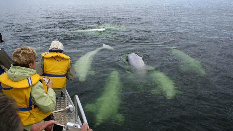 Beluga-Beobachtung © Diamir