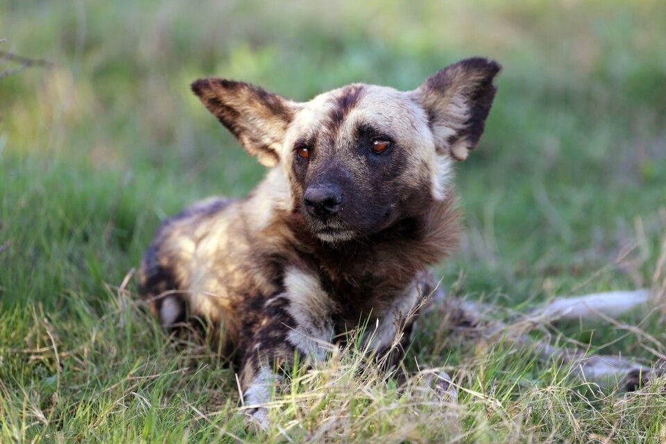 Einmalige Aufnahme: Wildhund beim Entspannen