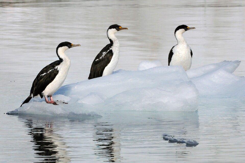 Blauaugenkormorane auf dem Eis