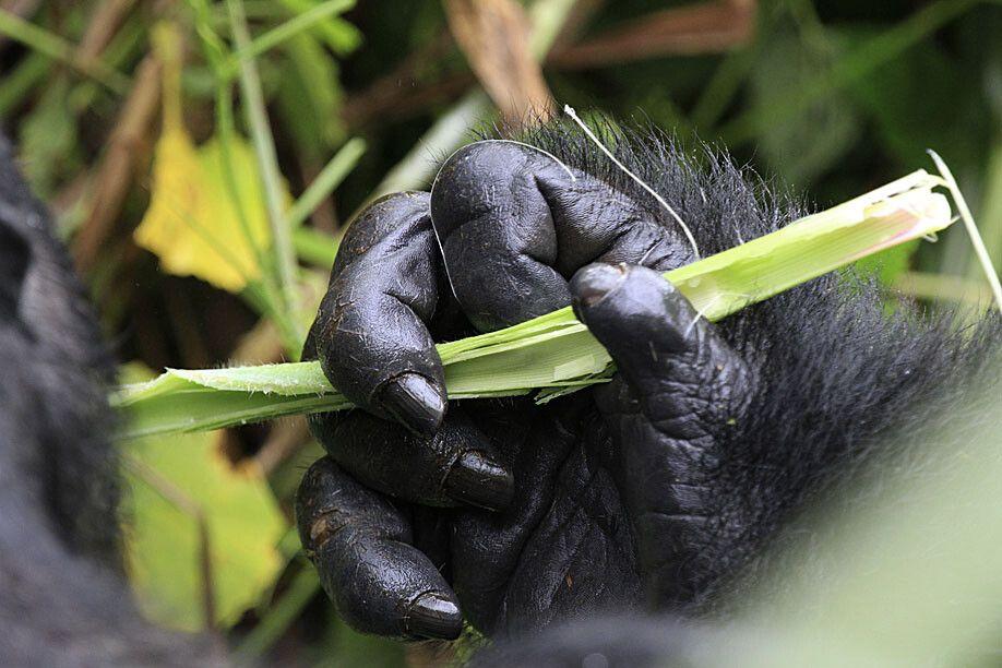 Die Hand eines Gorillas