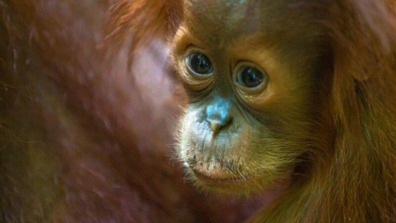 Sumatra-Orang-Utan-Junges © Diamir
