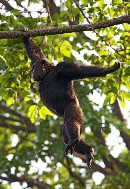 Schimpanse hangelt sich von Ast zu Ast