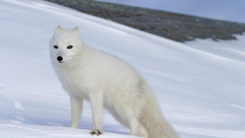 Polarfuchs im Winterkleid © Diamir