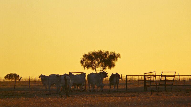 Kühe im Sonnenuntergang, Northern Territory © Diamir