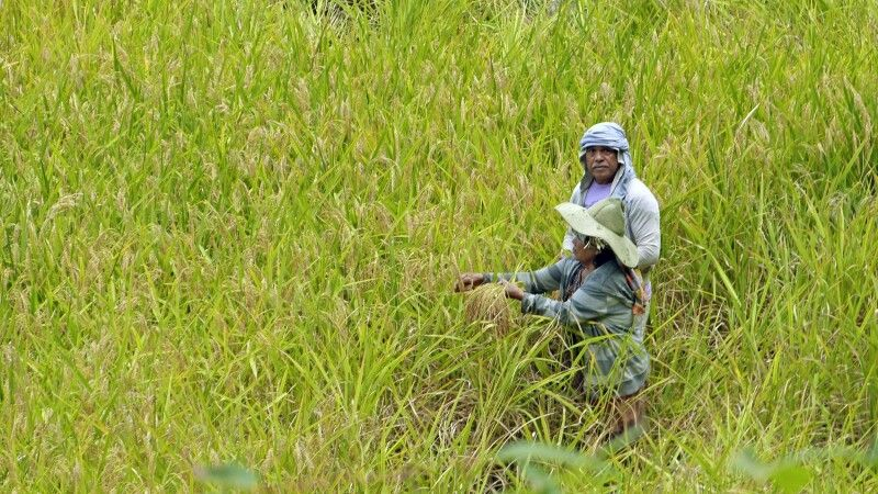 Sulawesi Reisfeld © Diamir