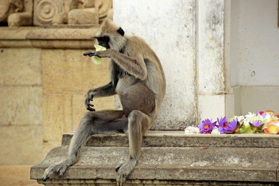 Weißbartlangur in Anuradhapura