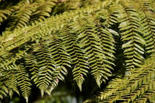 Die neuseeländische Nationalpflanze, der Silberfarn