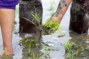 Setzen der Reisstecklinge