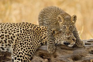 Leoparden im Tarangire NP
