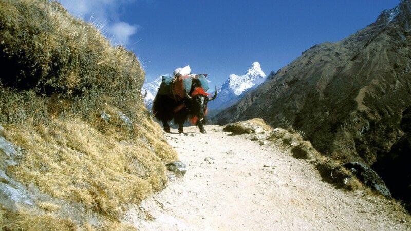 Yak im Everest-Gebiet mit Ama Dablam im Hintergrund © Diamir