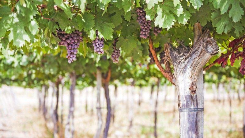 Reife Trauben in einem Weingut in Cafayate © Diamir