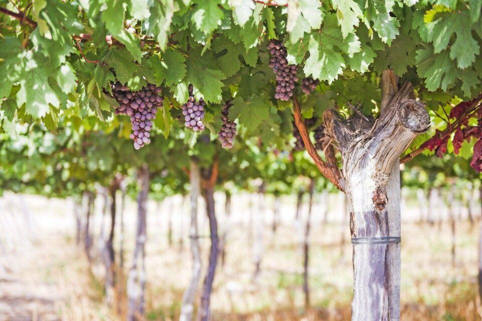 Reife Trauben in einem Weingut in Cafayate
