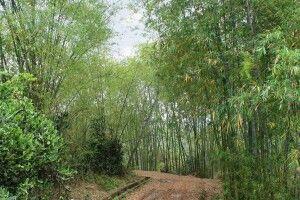 Bambuswald bei Mai Hich