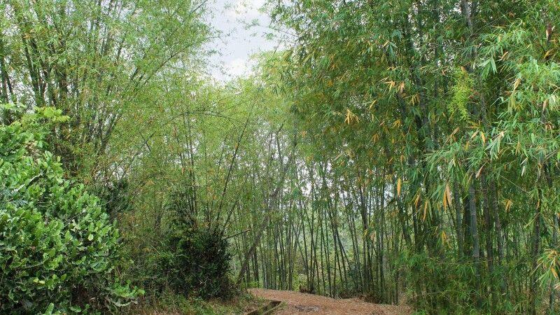 Bambuswald bei Mai Hich © Diamir