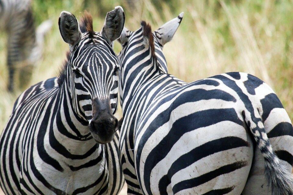 Zebras im Detail