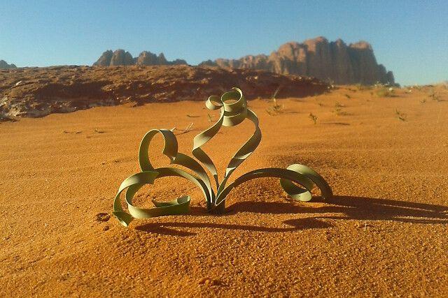 bizarre Pflanzenform im Wadi Rum