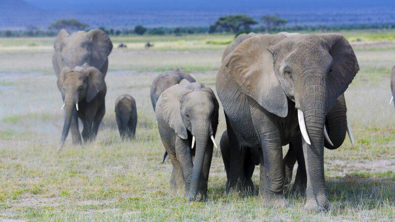 Elefantenherde im Amboselil Nationalpark © Diamir