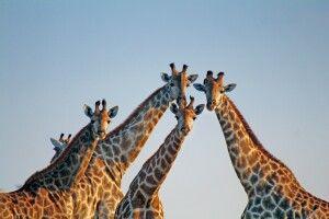 Giraffen in der Sambesi-Region
