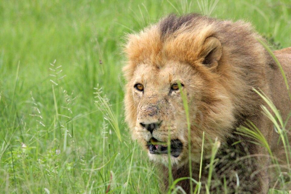 Löwe auf Pirsch im Etosha-Nationalpark entdecken
