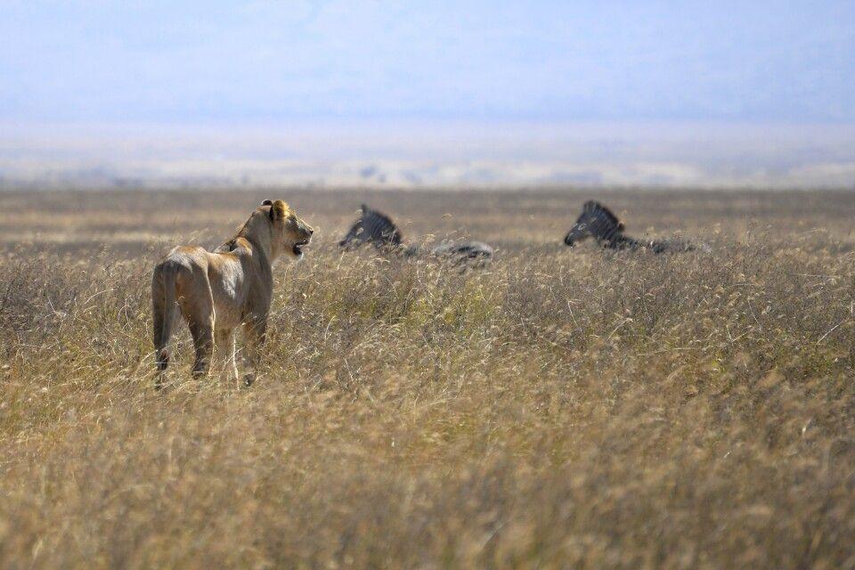 Löwin auf der Jagd