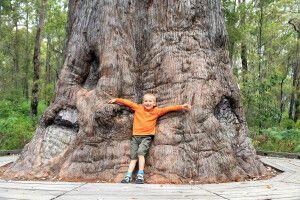 Riesige uralte Bäume
