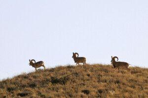 Steinböcke im Golestan NP