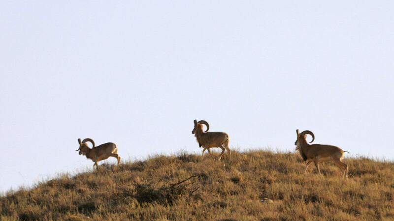Steinböcke im Golestan NP © Diamir