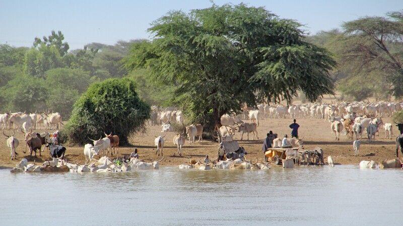 Viehmarkt am Ufer des Senegal Fluss © Diamir