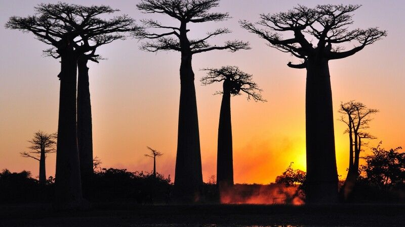 Baobabs in der Abendsonne © Diamir