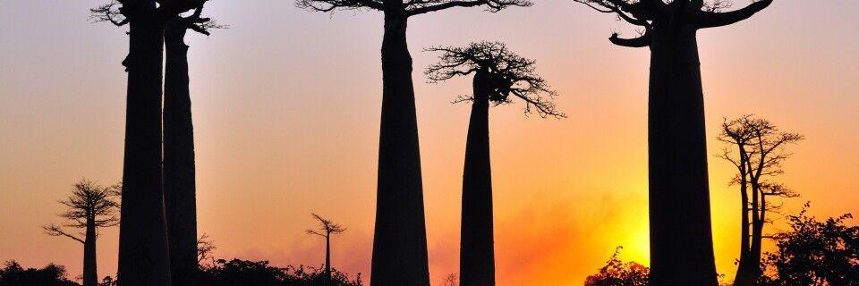 Baobabs in der Abendsonne