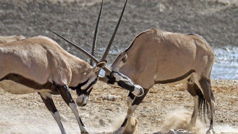 Wahrzeichen Namibias: Oryx-Antilopen © Diamir