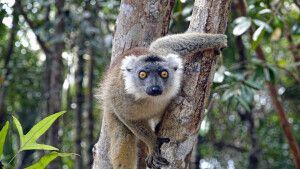 Lemur im Palmarium Reservat