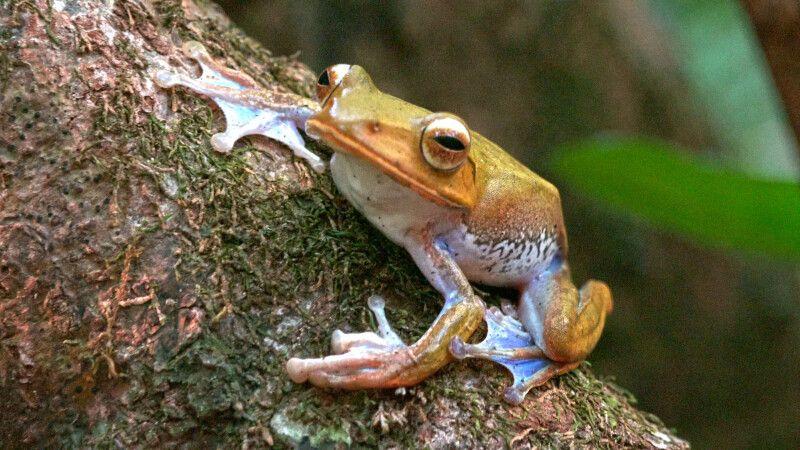 Madagaskarfrosch (Boophis spec) © Diamir