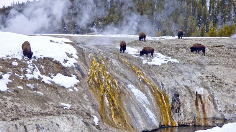 Bisons grasen im Yellowstone NP © Diamir