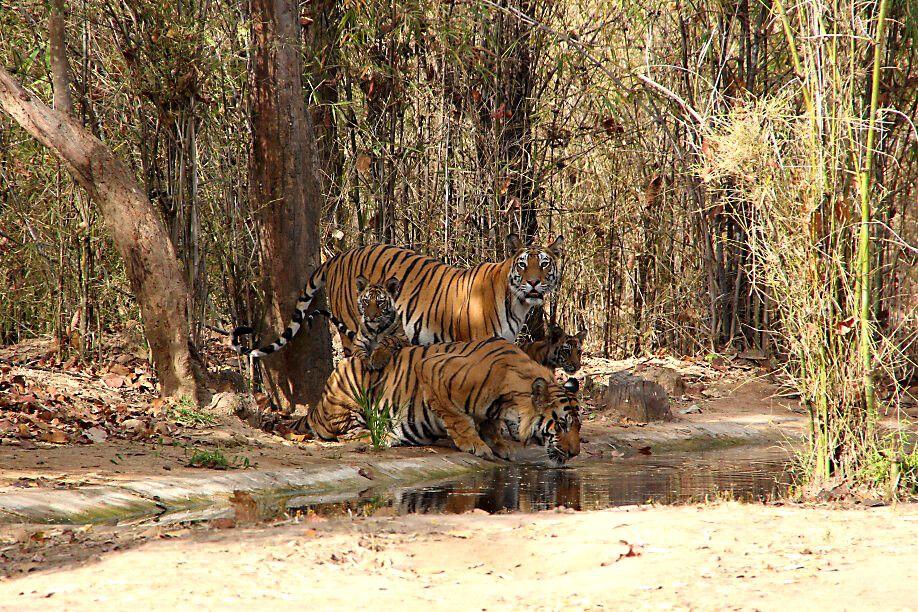 Tigerin Kankati und Tiger Bamera mit Jungen im Bandhavgarh-Nationalpark