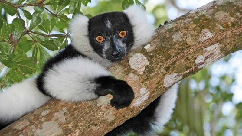 Lemur © Diamir
