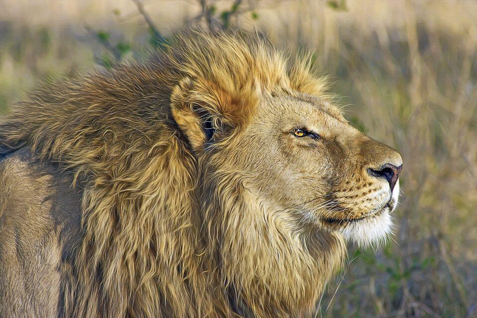 Löwe auf Pirsch im Nationalpark