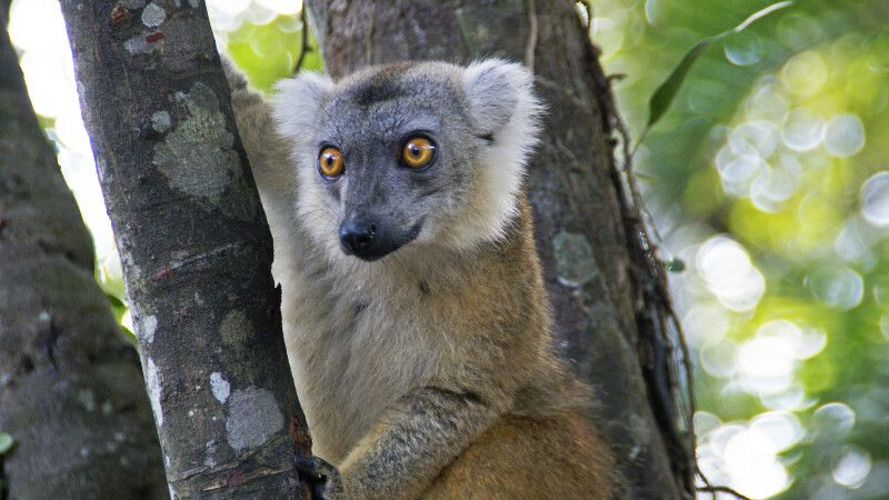Lemuren © Diamir