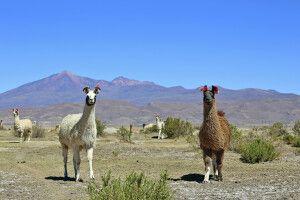 Neugiereige Lamas im bolivianischen Altiplano