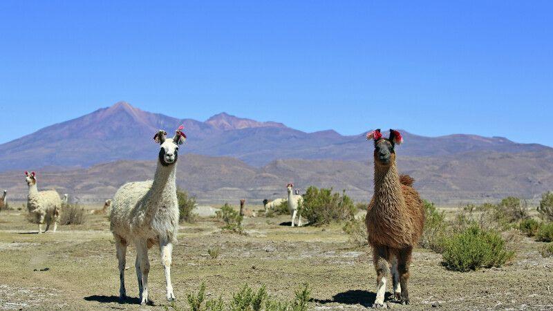 Neugiereige Lamas im bolivianischen Altiplano © Diamir
