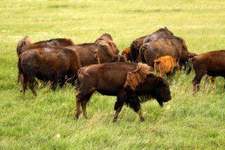 Bisons im Riding Mountain NP